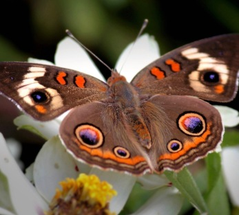 brown-butterfly_3